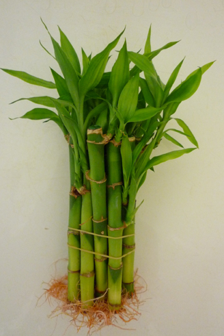 LIVE lucky bamboo 15cm Straight cane X 5pcs - Click Image to Close